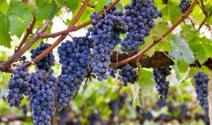 loza-vino